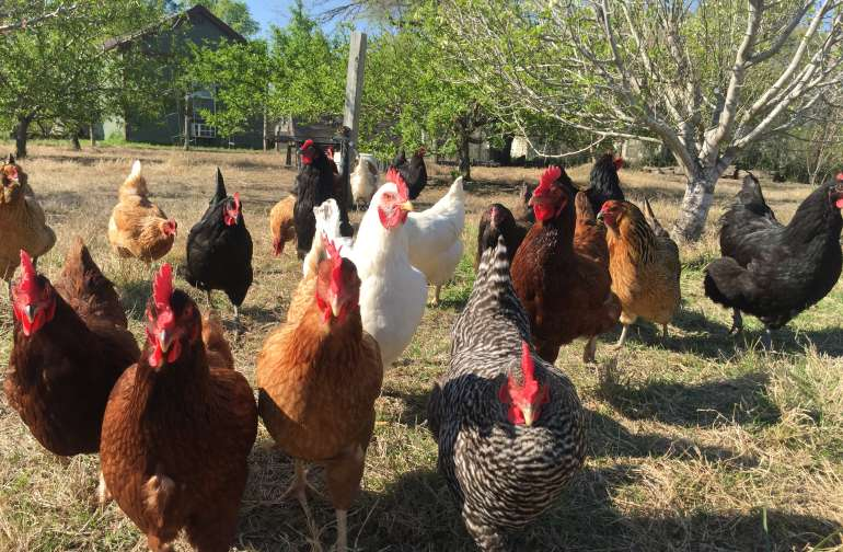 Our free range flock of hens is always friendly (and ready for a treat!)