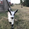 Camp Out at a Goat Dairy!