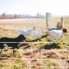 Sleep Among the Farm Animals