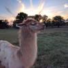 Llama Paradise at Lower Sherwood