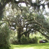 Texas Live Oak Rain Forest