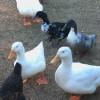 Friendly Fowl Farm