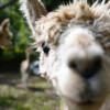 Camping with Herbert- the alpaca