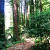 Redwoods,  near Samuel Taylor Park