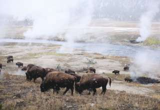 Bison graze in the first snow of the season