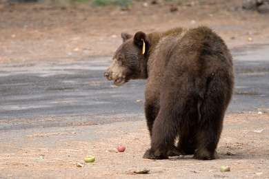 Old apple trees in the nearby Curry Village parking lot still attract bears in late August and early September.