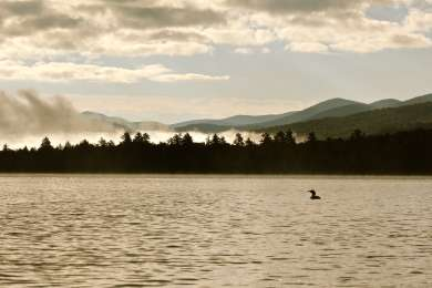 Loon on Lake Eaton