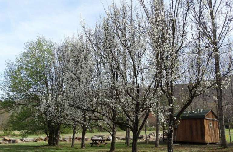 Spring begins with our Cherry Trees.