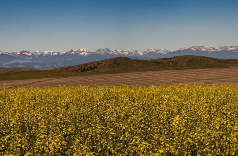 Canola on the farm with Tobacco Root Mountains in the background.