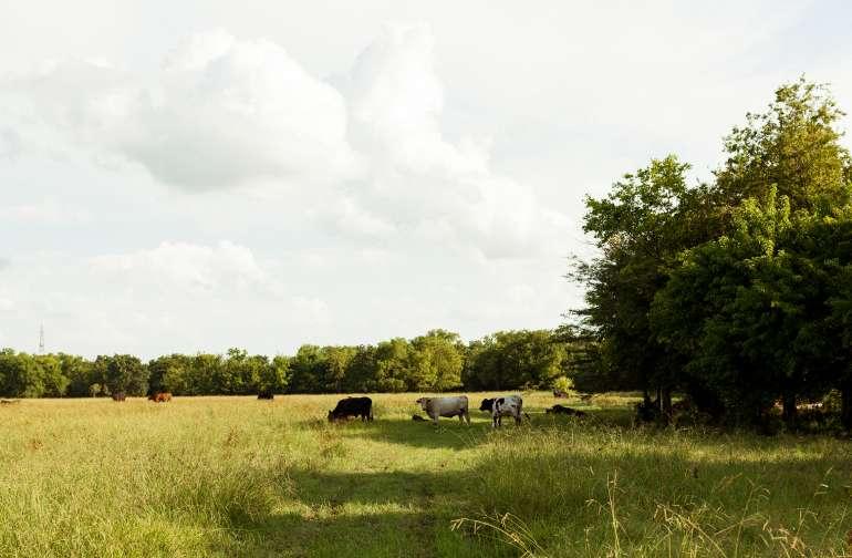 animal cows