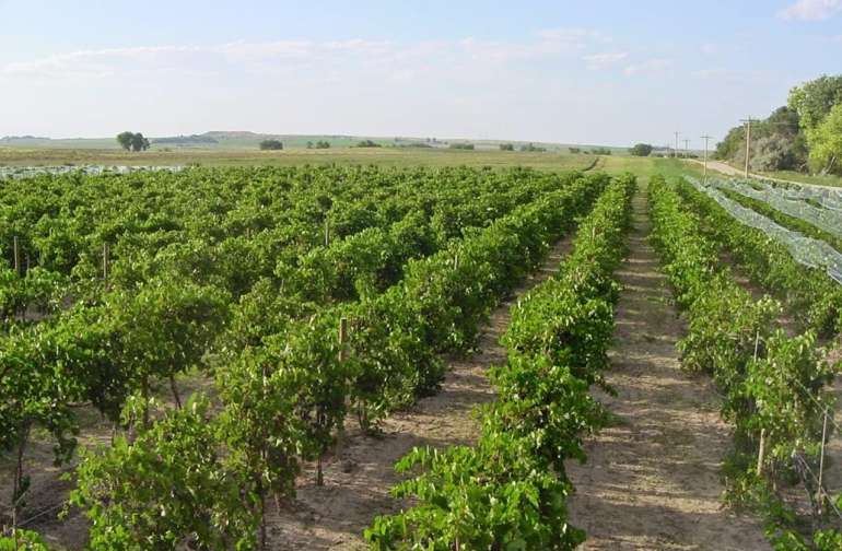 Wyo's Largest Vineyard