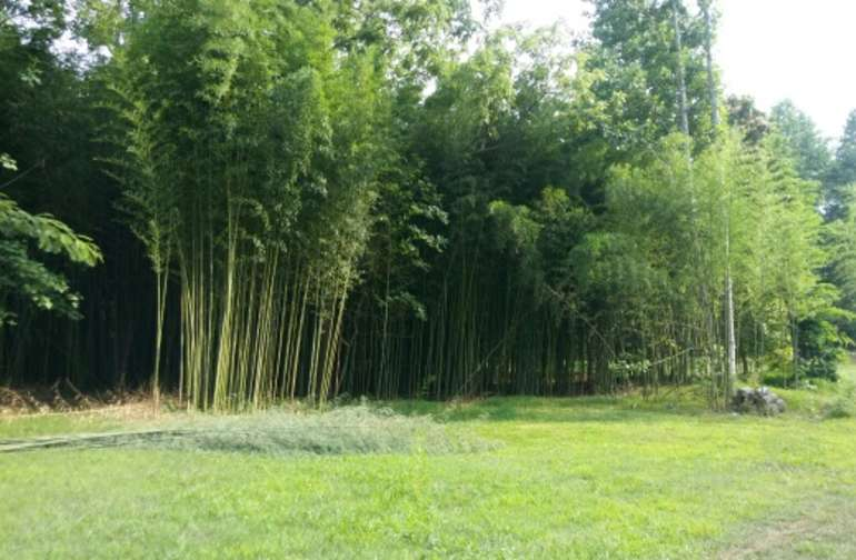 Bamboo grove on way to field.