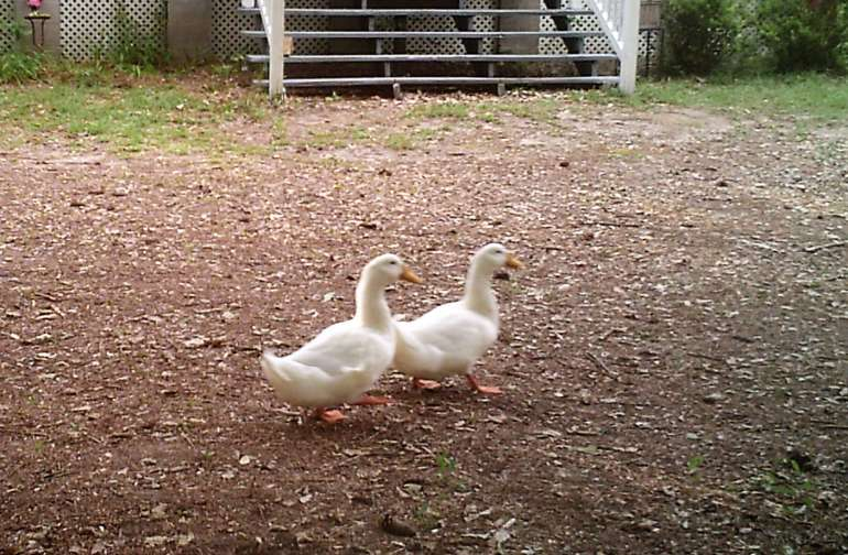 Our ducks from the pond