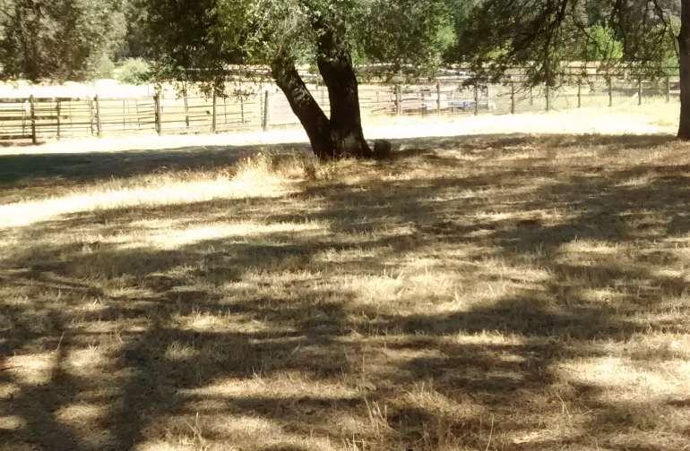 Oaks offer shade in the summer heat.