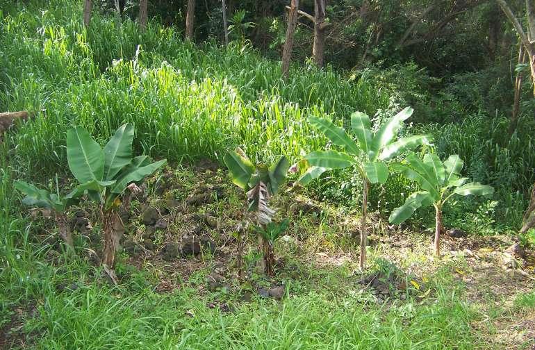 Hawaiian Pine Grove