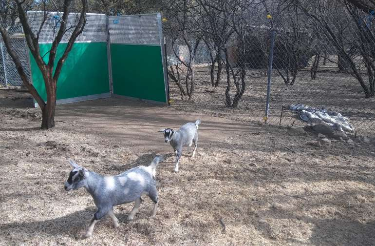 Goat pen with a concrete pad, for goat yoga.