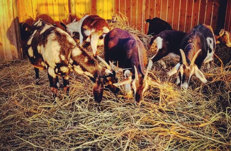 Goat Farm Camping