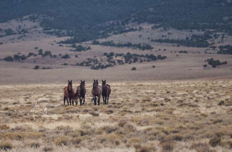 Wild Horses: Martin Ranch is surrounded by 4 wild horse management areas: 7 Mile, Fish Creek, Little Fish Lake and North Monitor.