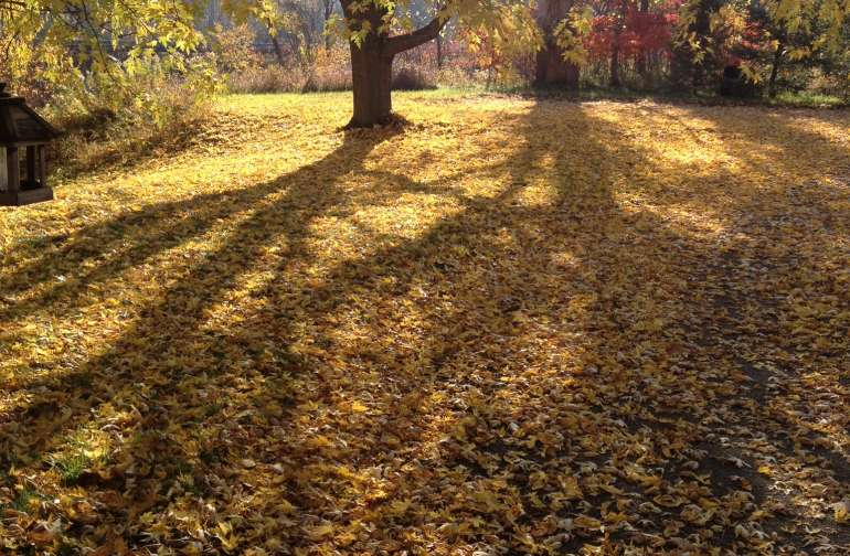 Our front yard in the autumn is a breathtaking sight with glowing leaves and bright sunshine.