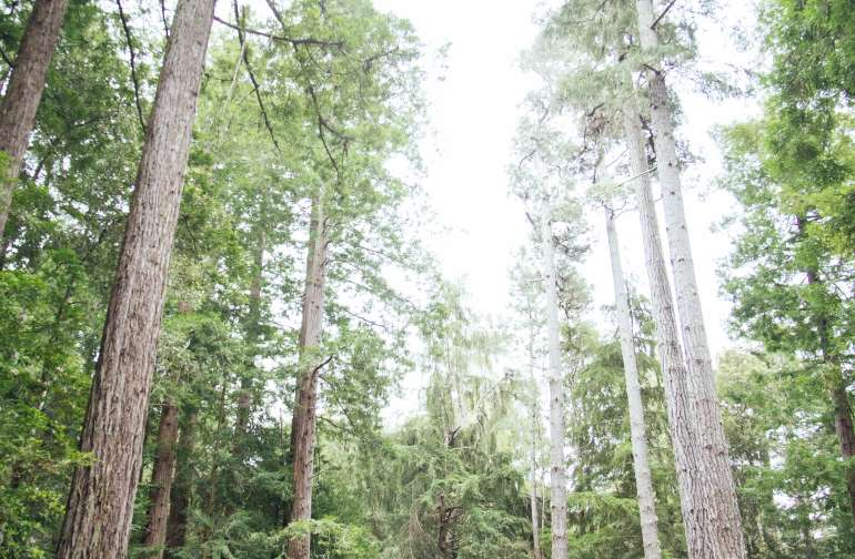 Towering redwoods surrounding the site!