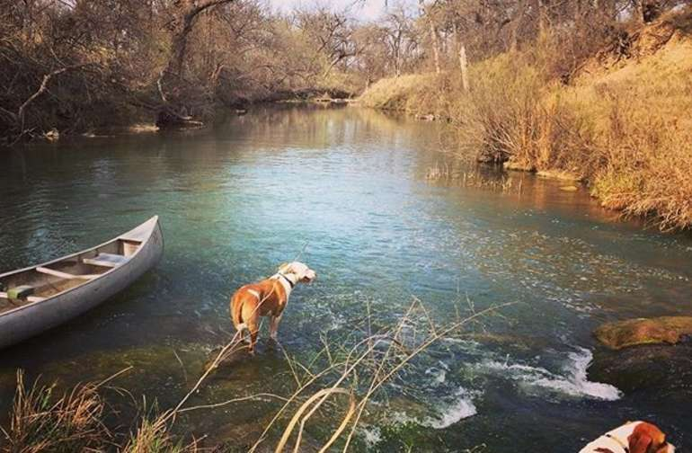 A couple of visiting hounds enjoying the San Saba River in late winter.