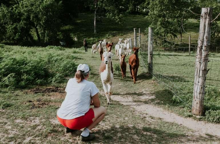 farm animal alpaca
