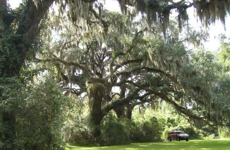 Champion Live Oak Trees... with 40 foot swings!