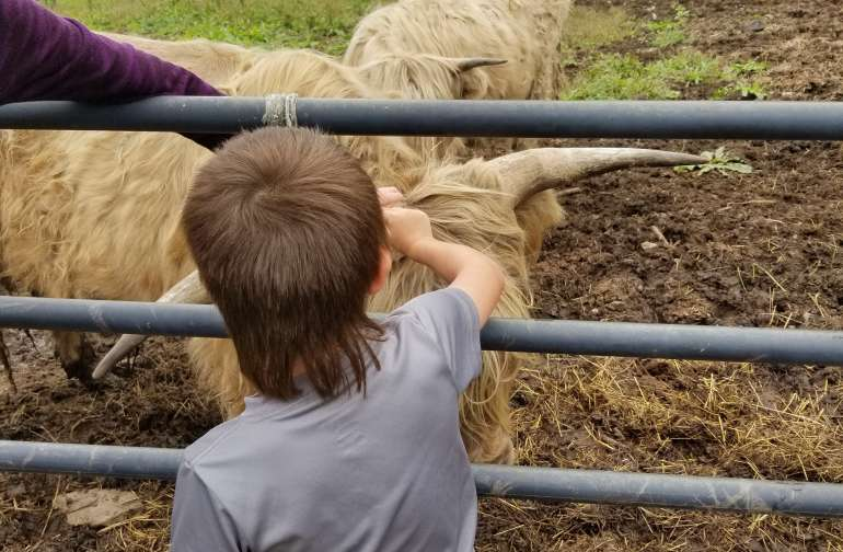 petting the Highland cattle