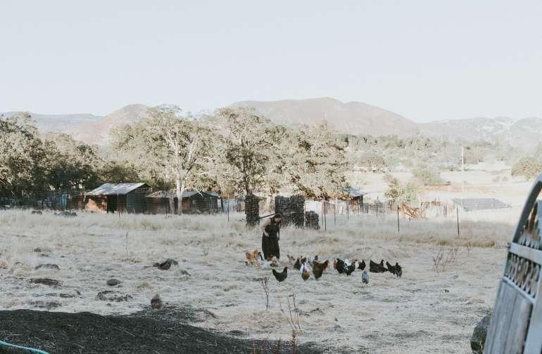 animal chickens